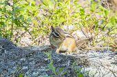 image of chipmunks  - Single chipmunk foraging on the forest floor - JPG