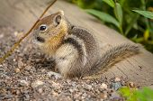 pic of chipmunks  - Cute Young Chipmunk standing up while collecting food - JPG