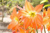 image of belladonna  - orange Lycoris Amaryllis,the flower in the garden ** Note: Soft Focus at 100%, best at smaller sizes - JPG