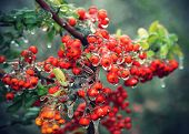 picture of freezing  - Branch of a bush with bright berries and green leaves after freezing rain - JPG