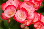 picture of begonias  - Close up of red begonia blossom in botanic garden - JPG