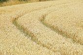 image of track field  - Tractor tracks in a Organic grain field - JPG