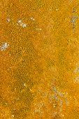 stock photo of lichenes  - Yellow lichen plant texture on concrete wall - JPG