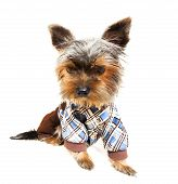 image of pullovers  - Beautiful brown cute Yorkshire Terrier in pullover portrait on white background - JPG