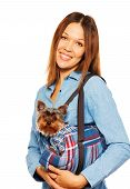 picture of pullovers  - Brown Yorkshire Terrier in pullover in dog - JPG