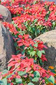 stock photo of poinsettia  - Colorful Poinsettia flower (christmas star) Poinsettia garden