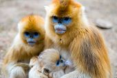 foto of monkeys  - A golden monkey family together - JPG