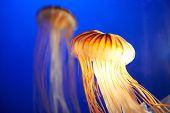image of oceanography  - Orange jellyfish  - JPG