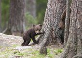 image of bear cub  - The mother bear keeps an eye on the little bear cub.Photographed in the wild in Finland.