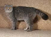 picture of scottish-fold  - Scottish fold gray cat standing on brown couch - JPG