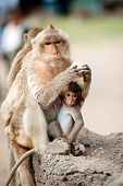stock photo of baby-monkey  - Monkey mother and her baby sitting and eating corn on a floor Pagoda - JPG