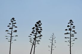 stock photo of century plant  - Agave americana tree century plant with flowers abstract silhouette against blue sky - JPG
