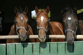 image of chestnut horse  - Nice thoroughbred foals in the stable door - JPG