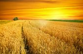 picture of nubian  - sunset over wheat field - JPG