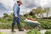 stock photo of wheelbarrow  - Farmer pushing wheelbarrow with vegetables Healthy food and nutrition - JPG