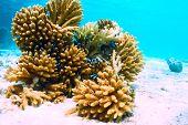 stock photo of coral reefs  - Coral reef at South Ari Atoll - JPG