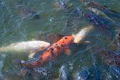 foto of koi fish  - Many Japanese Koi fish gathering to eat - JPG