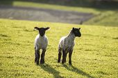 image of spring lambs  - Beauitful landscape image of Spring lambs and sheep in fields during late evening light