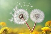image of wind up clock  - Dandelion seeds in the morning sunlight blowing away across a fresh green background - JPG