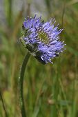 image of grassland  - Sheepsbit - Jasione montana