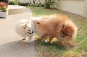 pic of mating  - Pomeranian dogs mating - JPG