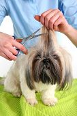 image of barbershop  - Cute Shih Tzu and hairdresser in barbershop - JPG