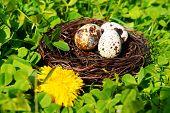 stock photo of bird egg  - Nest with bird eggs over green bush background - JPG