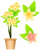 picture of plumeria flower  - Tropical flowers plumeria isolated on white background - JPG
