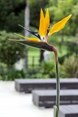 pic of bird paradise  - Strelitzia reginae is a monocotyledonous flowering plant indigenous to South Africa - JPG