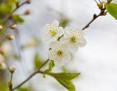 stock photo of tree-flower  - Beautiful white flowers of cherry tree - JPG