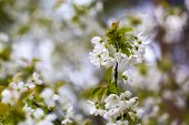 foto of tree-flower  - Beautiful white flowers of cherry tree. Close up of fruit tree branch with flowers. ** Note: Shallow depth of field - JPG
