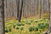 pic of daffodils  - Daffodils at Hubbard Park in Meriden - JPG