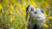 stock photo of swamps  - This is a shot of a fall blue heron in the swamp. The foliage was just turning and added the colour to the photo ** Note: Soft Focus at 100%, best at smaller sizes - JPG