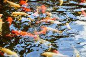 stock photo of koi  - Many Colored Koi Carps in a Dark Pond - JPG