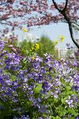 picture of violet flower  - Purple orychophragmus violaceus Chinese Violet Cress flowers yellow rapeseed brassicus Napus and flowering peach trees in Century Park Shanghai China - JPG