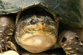 picture of winnebago  - This a large common snapping turtle from Missouri.