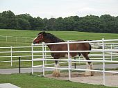 stock photo of clydesdale  - A clydesdale horse in a corral or pen on a ranch - JPG