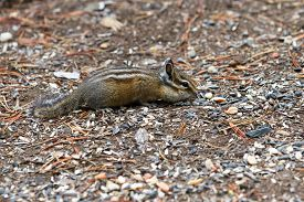 pic of chipmunks  - closeup of a small chipmunk feeding on nuts in the forest floor - JPG