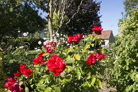 stock photo of english rose  - Beautiful red roses in an English country rose garden - JPG