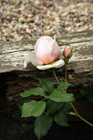 picture of english rose  - Pink rose Heritage - JPG