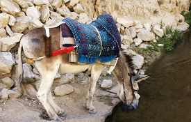 stock photo of wild donkey  - Donkey resting at the rock in Israel - JPG