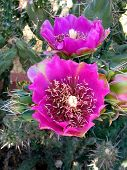 image of xeriscape  - cholla cactus flower - JPG