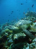 foto of sea-turtles  - green turtle resting on coral reef sipadan in sabah malaysian borneo - JPG