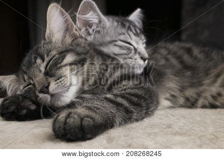 poster of Two sibs illuminated little cats (kitties) sleeping together on the plush ground with dark background. Grey and stripped black cats (kitty) sleeping on wool. Friendship and cats. Cats dreaming.