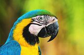 Blue-and-yellow Macaw Known As Arara-caninde In Brazil poster