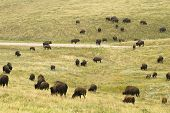 pic of female buffalo  - a herd of American buffalo grazing in Custer State Park in the Black Hills of South Dakota - JPG