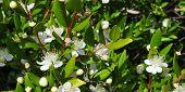 image of angiosperms  - Myrtus myrtle  - JPG