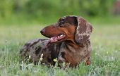 dog dachshund lying on the grass poster