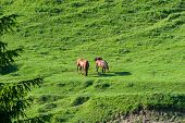 Grazing Purebred Horses On Green Meadow In The Carpathian Mountains , Transylvania. poster