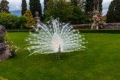 Peacock In Palazzo Borromeo, Lake Maggiore, Stresa, Italy poster